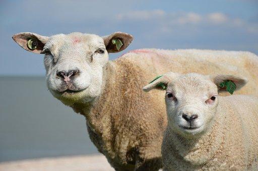 Sheep, Animals, Lamb, Rural, Pasture, Ewe, Mammal, Milk