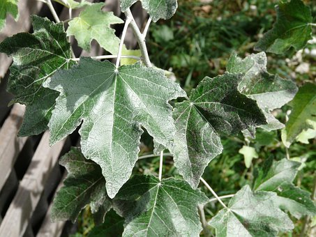 Leaf, Green, Close, Populus Alba, Tree, Poplar