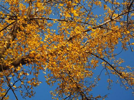 Black Poplar, Tree, Poplar, Leaves, Autumn
