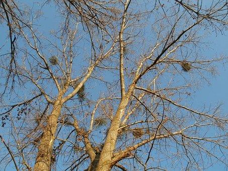 Cottonwood, Silz, Populus, Canadensis, Poplar, Branches