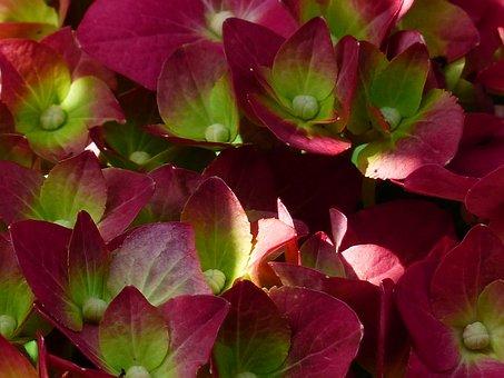 Hydrangea, Flower, Blossom, Bloom, Red, Green