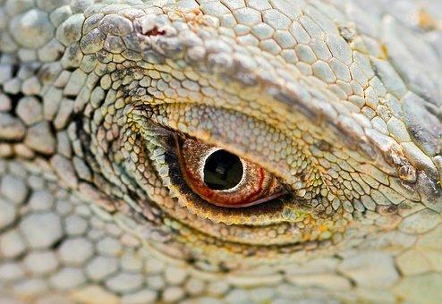 Macro, Iguana, Red Eye, Lizard, Scales, Eyelid