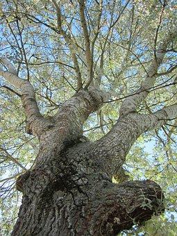 Populus Alba, Abele, Silver Poplar, Silverleaf Poplar