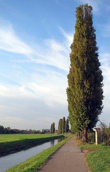 Poplar, Tree, Lombardy Poplar, Italian Poplar