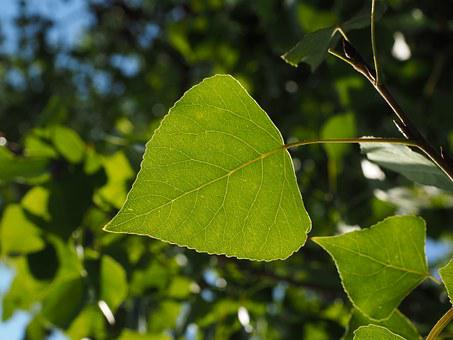 Leaf, Poplar Leaf, Leaf Veins, Tree, Green, Nature