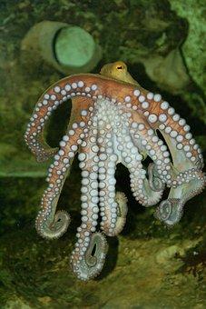 Octopus, Underwater, Meeresbewohner, Water Creature