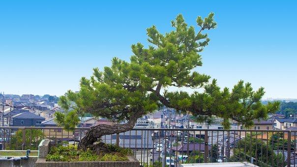 Pine Tree, Life, City, Roof, Vigorous, Lonely, Du Ao