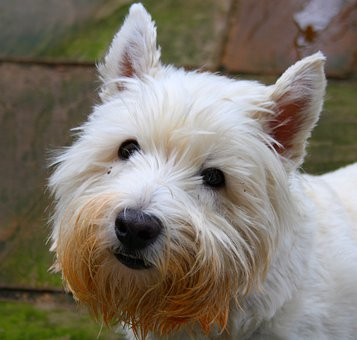 Dog, Humour, Animal, Pet, Dogs, Westie, West High