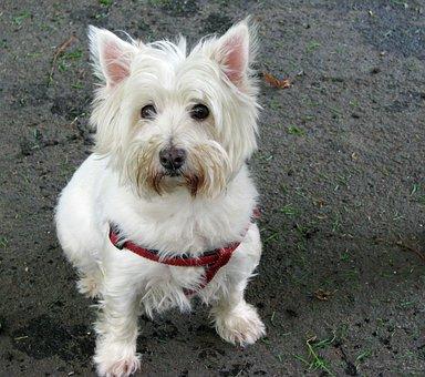 West Highland White Terrier, Westie, Terrier, Dog, Cute