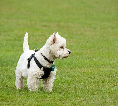 Dog, Westie, West Highland Terrier