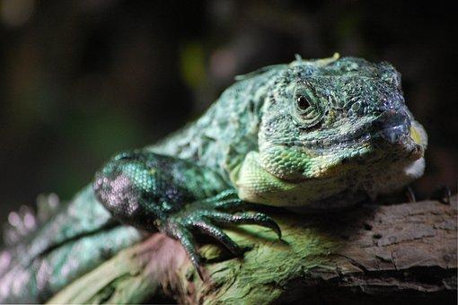 Lizard, Jungle, Animal, Nature, Reptile, Wildlife