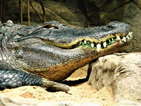 Crocodile, Alligator, Reptiles, Nature