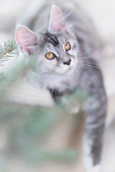 Cat, Silver, Gray, Maine Coon, Kitten, Pet, Animal, Cub