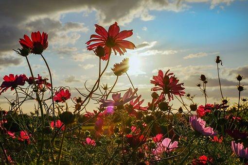 Cosmea, Flowers, Bloom, Evening Sun, Back Light, Light