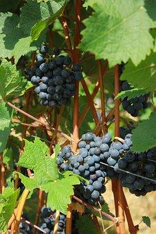 Fruit, Climber, Vineyard, Red Wine, Grape, Wine