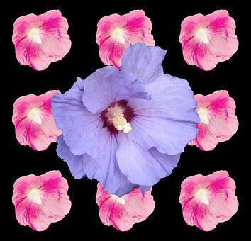 Hibiscus, Marshmallow, Mallow, Malvenartig, Pink, Blue