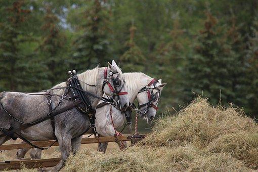 Horses, Draft Team, Harness, Field, Mammal, Cavalry