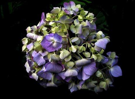 Flower, Hydrangea, Plant, Garden, Nature, Summer