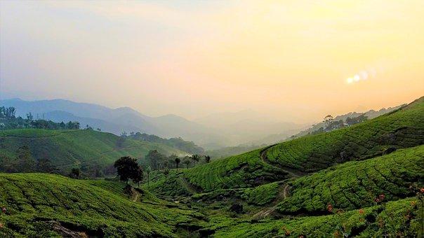 Tea Plantations, Tea Plants, Plantation, Tea, Leaf