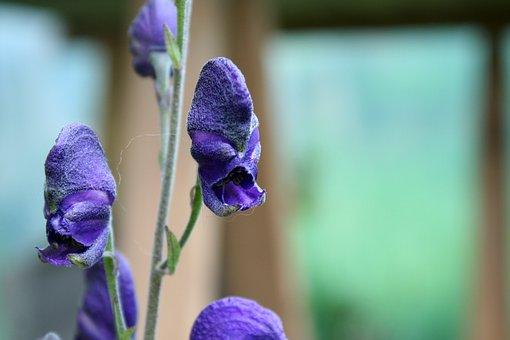 Monkshood, Poisonous Plant, Flora, Blue, Toxic