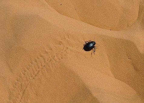 Scarab, Sahara, Taghit, Algeria