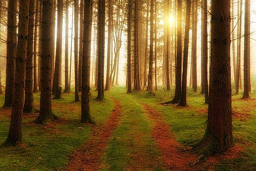 Wood, Tree, Away, Path, Softwood, Forest, Sun, Rays