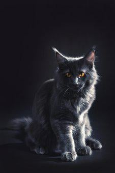 Tomcat, Cat, Kitten, Kitty, Gray, Black, Maine Coon