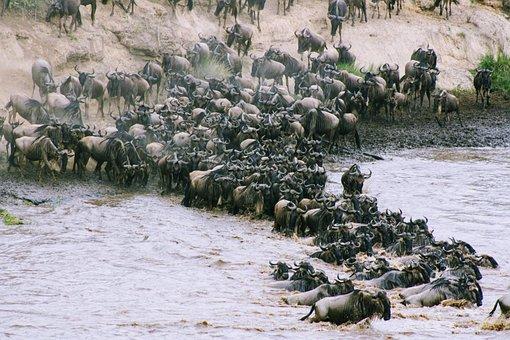 Water, Nature, Kenya, Africa, Wildebeest, Safari