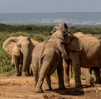 Elephant, Mammal, Wildlife, Safari, Ivory