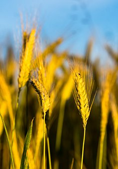Cereals, Wheat, Growth, Nature, Agriculture