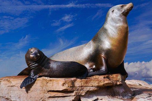 Animals, Sea Lion, Ocean, Sea, Mammal, Animal World