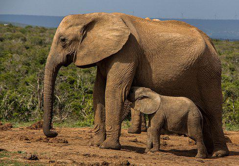 Elephant, Mammal, Wildlife, Ivory, Safari