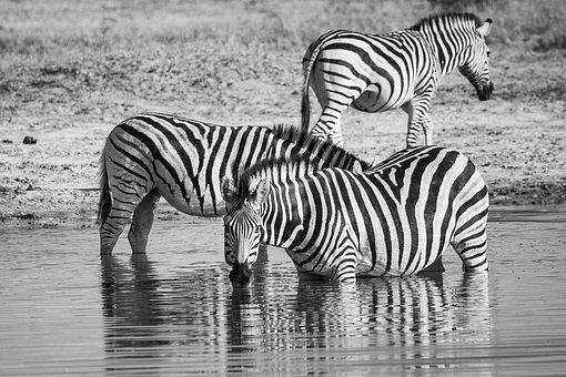 Zebra Drinking, Zebras Drinking, Zebra, Equid