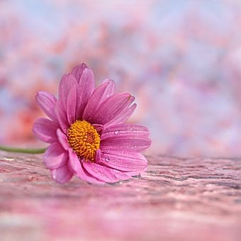 Still Life, Flower, Marguerite, Leucanthemum