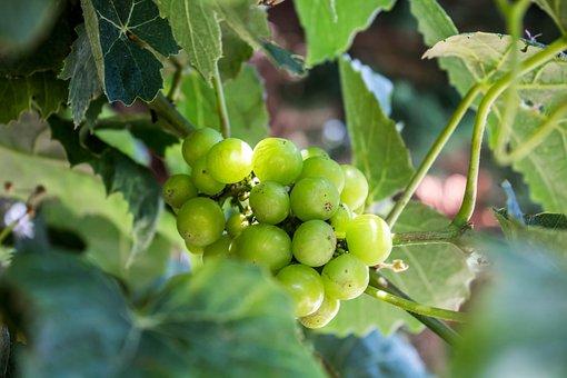 Fruit, Nature, Leaf, Agriculture, Food, Vine, Summer