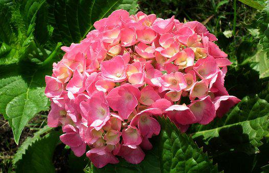 Nature, Flower, Hydrangea, Plant, Garden, Blooming