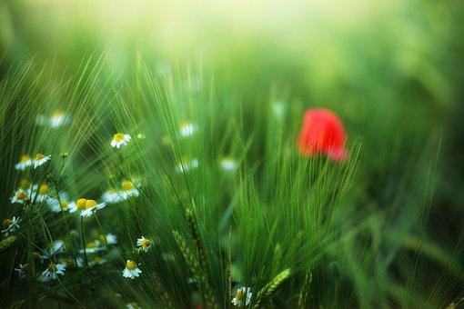 Grass, Meadow, Nature, Summer, Field, Poppy, Flowers