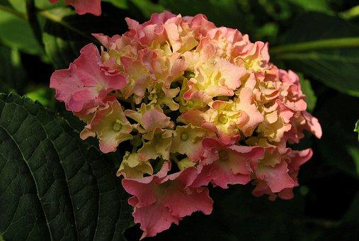 Nature, Plant, Hydrangea, Flower, Leaf, Garden