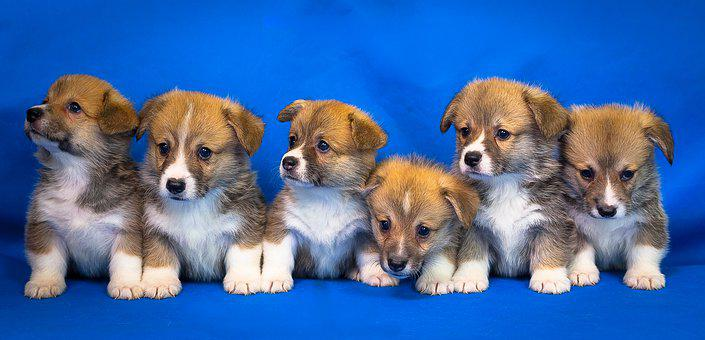 Welsh Corgi, Pembroke, Dog, Puppy, Animals, Cute, Pet