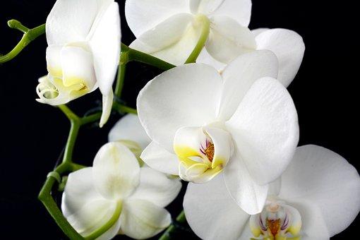 Orchid, Flower, Plant, Nature, Tropical, Petal, Close