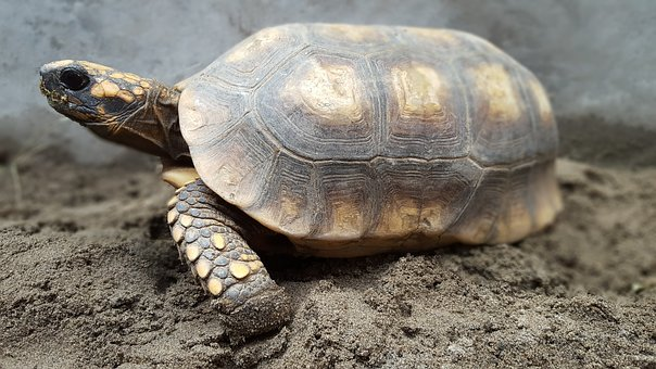 Testudines, Reptilia, Turtle, Exoskeleton, Nature