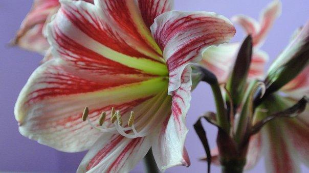 Amaryllis, Beautiful, Flower