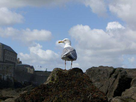 Gull, Tide, Low, Brittany, St-malo
