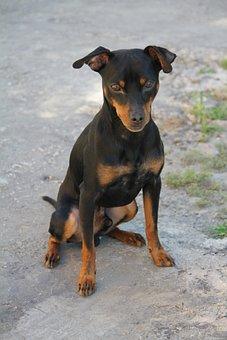 Portrait, Pet, Canidae, Race, Pinsher Miniature, Dog