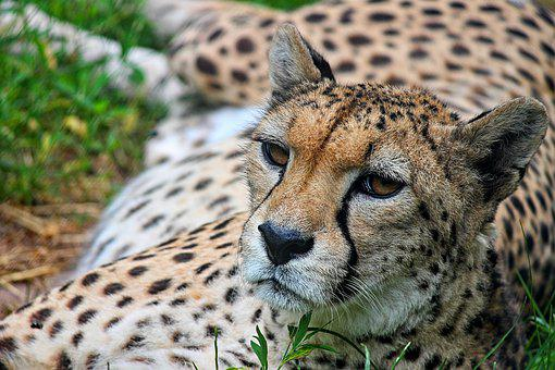 Cheetah, Close, Predator, Cat, Wild Animal
