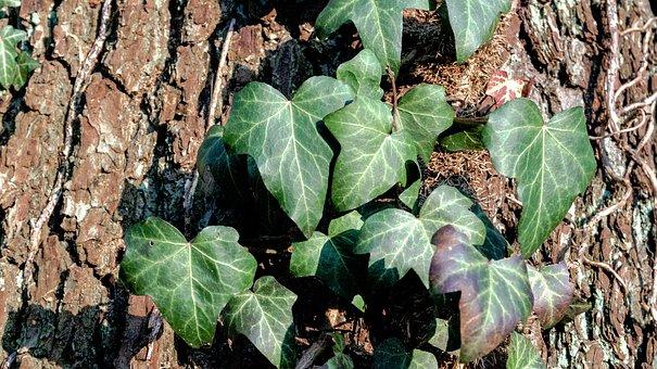 Leaf, Plant, Nature, Ivy, Climber