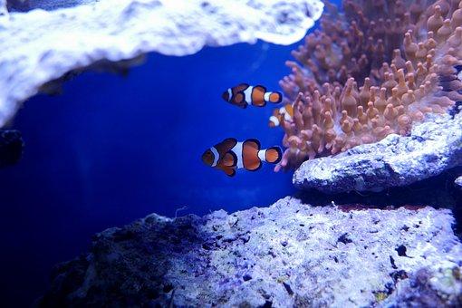 Underwater, Ocean, Sea, Coral, Reef, Clown Fish, Nemo