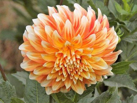 Dahlia, Nature, Plant, Flower, Garden, Summer