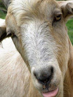Mammal, Animal, Portrait, Sheep, Goat, Livestock, Farm