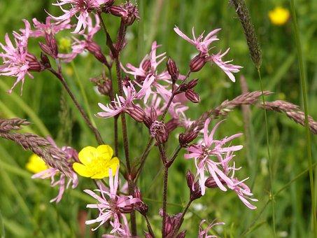 Cuckoo Light Elke, Carnation, Meadow, Flower Meadow